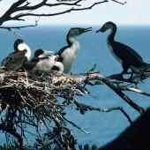 Pied shag. Adult pair at nest containing large chicks. Little Barrier Island, September 1978. Image © Department of Conservation (image ref: 10035619) by John Kendrick, Department of Conservation Courtesy of Department of Conservation