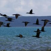 Little black shag. Flock in flight. Plimmerton, Porirua City, June 2011. Image © Ian Armitage by Ian Armitage
