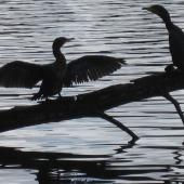 Little black shag. Two birds roosting and drying wings. Hamilton Lake, August 2012. Image © Koos Baars by Koos Baars