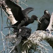 Little black shag. Juveniles at nest. Wanganui, January 2010. Image © Ormond Torr by Ormond Torr