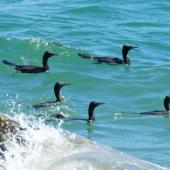 Little black shag. Foraging flock. Wellington Harbour, October 2010. Image © Alex Scott by Alex Scott