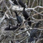 Little black shag. Chicks on nest in colony. Whangamarino Wetlands, December 2017. Image © Oscar Thomas by Oscar Thomas