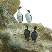 New Zealand king shag. Adults perched on a cliff. Marlborough Sounds, August 2017. Image © Rebecca Bowater by Rebecca Bowater FPSNZ AFIAP www.floraandfauna.co.nz