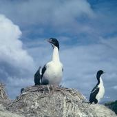 New Zealand king shag. Adults and chicks on nests. Duffers Reef, Pelorus Sound. Image © Department of Conservation (image ref: 10038241) by Colin Roderick, Department of Conservation Courtesy of Department of Conservation
