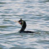 Stewart Island shag. Bronze morph adult in breeding plumage. Riverton, Aparima River mouth, August 2017. Image © Anja Köhler by Anja Köhler