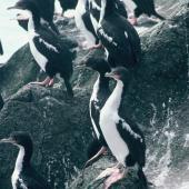 Chatham Island shag. Roosting flock. Star Keys, Chatham Islands, February 1988. Image © Alan Tennyson by Alan Tennyson