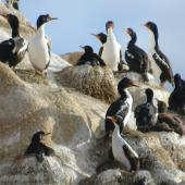 Chatham Island shag. Adults and large chicks on breeding colony. Point Weeding, Chatham Islands, September 2016. Image © Oscar Thomas by Oscar Thomas https://www.flickr.com/photos/kokakola11/