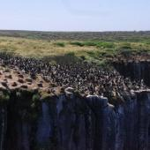 Auckland Island shag. Colony. Enderby Island,  Auckland Islands, January 2018. Image © Colin Miskelly by Colin Miskelly
