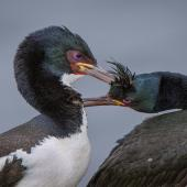 Auckland Island shag. Allopreening adults showing magenta-pink eye ring. Enderby Island, Auckland Islands, January 2016. Image © Tony Whitehead by Tony Whitehead www.wildlight.co.nz