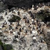 Auckland Island shag. Nesting colony on cliffs. Enderby Island, Auckland Islands, January 2007. Image © Ian Armitage by Ian Armitage