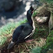 Auckland Island shag. Adult female on nest. Enderby Island, Auckland Islands, November 1978. Image © Department of Conservation (image ref: 10035034) by John Kendrick, Department of Conservation Courtesy of Department of Conservation