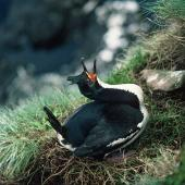 Auckland Island shag. Adult female displaying on nest. Enderby Island, Auckland Islands, November 1978. Image © Department of Conservation (image ref: 10029454) by John Kendrick, Department of Conservation Courtesy of Department of Conservation