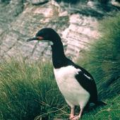 Campbell Island shag. Adult. Campbell Island, January 1985. Image © Department of Conservation (image ref: 10039552) by Graeme Taylor, Department of Conservation Courtesy of Department of Conservation
