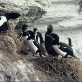 Campbell Island shag. Adults, chicks and juveniles at breeding colony. Campbell Island. Image © Department of Conservation (image ref: 10038066) by Peter Moore, Department of Conservation Courtesy of Department of Conservation