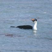 Macquarie Island shag. Adult on water. Macquarie Island, November 2011. Image © Detlef Davies by Detlef Davies