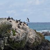 Macquarie Island shag. Birds on breeding islet. Macquarie Island, November 2011. Image © Sonja Ross by Sonja Ross