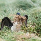 Macquarie Island shag. Adult gathering nesting material. Macquarie Island, December 2015. Image © Edin Whitehead by Edin Whitehead www.edinz.com