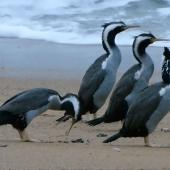 Spotted shag. Regurgitating small stones. Tata Beach, Golden Bay, June 2011. Image © Joke Baars by Joke Baars