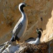 Spotted shag. Pair at nest site. Matiu/Somes Island, June 2010. Image © Peter Reese by Peter Reese