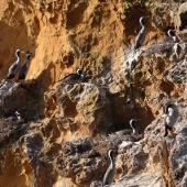 Spotted shag. Nesting colony on cliff. Matiu/Somes Island, June 2010. Image © Peter Reese by Peter Reese