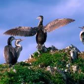 Spotted shag. Rear view of adult drying wings. Kaikoura coast, October 1995. Image © Albert Aanensen by Albert Aanensen