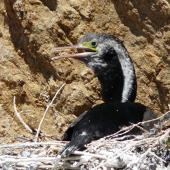 Spotted shag. Adult on nest. Mokopuna Island, Wellington Harbour, October 2010. Image © Alan Tennyson by Alan Tennyson