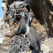 Spotted shag. Adults at nest. Mokopuna Island, Wellington Harbour, October 2010. Image © Alan Tennyson by Alan Tennyson