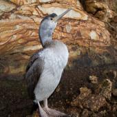Spotted shag. Juvenile. Otago Peninsula, June 2012. Image © Craig McKenzie by Craig McKenzie