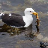 Southern black-backed gull. Adult feeding on starfish. Wellington, April 2018. Image © Paul Le Roy by Paul Le Roy