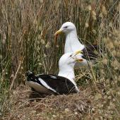 Southern black-backed gull. Pair at nest. Whanganui, November 2008. Image © Ormond Torr by Ormond Torr