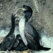 Pitt Island shag. Adult with chicks. Mangere Island, Chatham Islands, December 1987. Image © Alan Tennyson by Alan Tennyson Alan Tennyson