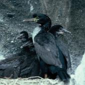 Pitt Island shag. Adults with chicks. Mangere Island, Chatham Islands, December 1987. Image © Alan Tennyson by Alan Tennyson Alan Tennyson