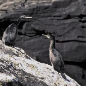 Pitt Island shag. Juveniles. Rangatira Island, Chatham Islands, December 1983. Image © Colin Miskelly by Colin Miskelly