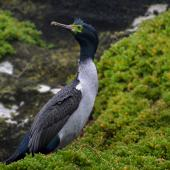 Pitt Island shag. Adult. Rangatira Island, September 2016. Image © Oscar Thomas by Oscar Thomas