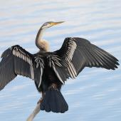 Darter. Adult female. Lake Ginninderra Peninsula, Australian Capital Territory, June 2018. Image © Glenn Pure 2018 birdlifephotography.org.au by Glenn Pure