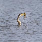 Darter. Adult female swimming with impaled fish. Jerrabomberra Wetlands, Australian Capital Territory, June 2020. Image © Graham Gall 2020 birdlifephotography.org.au by Graham Gall