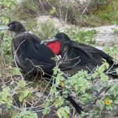 Great frigatebird. Pair - male on right. Kiritimati, Kiribati, February 2015. Image © Ray Pierce by Ray Pierce