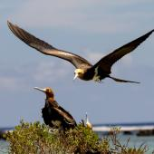 Lesser frigatebird. Juveniles. Tetiaroa, October 2016. Image © James Russell by James Russell