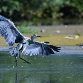 Grey heron. Adult landing. Bas-rebourseaux, France, August 2017. Image © Cyril Vathelet by Cyril Vathelet