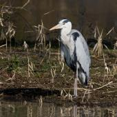 Grey heron. Adult in breeding plumage. Tokyo, Japan, February 2013. Image © Sonja Ross by Sonja Ross