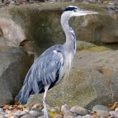 Grey heron. Adult. London Zoo, August 2017. Image © Alan Tennyson by Alan Tennyson