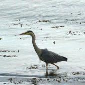 Grey heron. Adult in breeding plumage. Kyles of Bute, Scotland, June 2012. Image © Alan Tennyson by Alan Tennyson