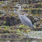 Grey heron. Adult. Torquay, England, July 2015. Image © Alan Tennyson by Alan Tennyson