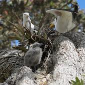 Southern black-backed gull. Parents with chick at the nest, high up on a pohutukawa. Wenderholm Regional Park, December 2014. Image © Marie-Louise Myburgh by Marie-Louise Myburgh