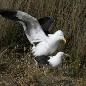 Southern black-backed gull. Pair copulating on nest. Whangaehu River estuary, November 2010. Image © Ormond Torr by Ormond Torr