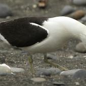 Southern black-backed gull. Adult calling. Turakina River estuary, January 2011. Image © Ormond Torr by Ormond Torr