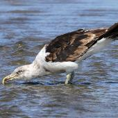 Southern black-backed gull. Immature assuming adult plumage. Wanganui, February 2013. Image © Ormond Torr by Ormond Torr