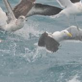 Southern black-backed gull. 2nd year (left), 3rd year (upper right), and 4+ year adult (lower right) with an adult black-browed mollymawk. Cook Strait, Near Wellington, August 2014. Image © Kyle Morrison by Kyle Morrison