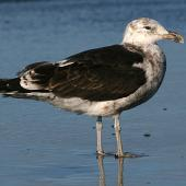 Southern black-backed gull. Immature. Whanganui, March 2008. Image © Ormond Torr by Ormond Torr