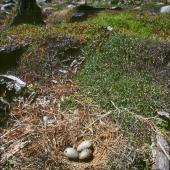 Southern black-backed gull. Nest with 3 eggs. Kapiti Island, January 1989. Image © Colin Miskelly by Colin Miskelly